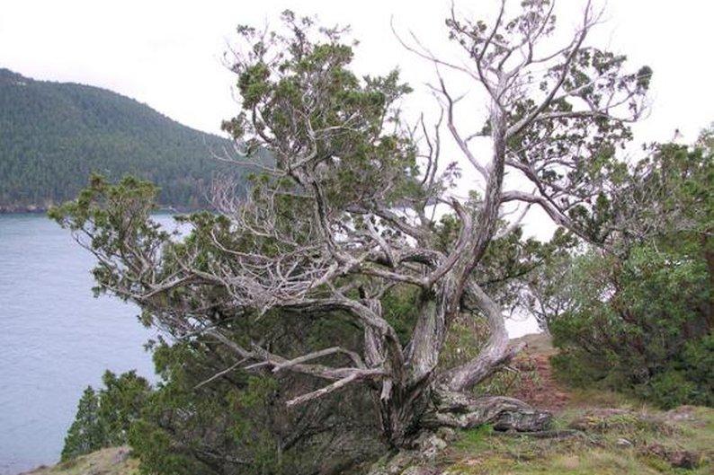 Juniperus scopulorum, 1.889 anéis.