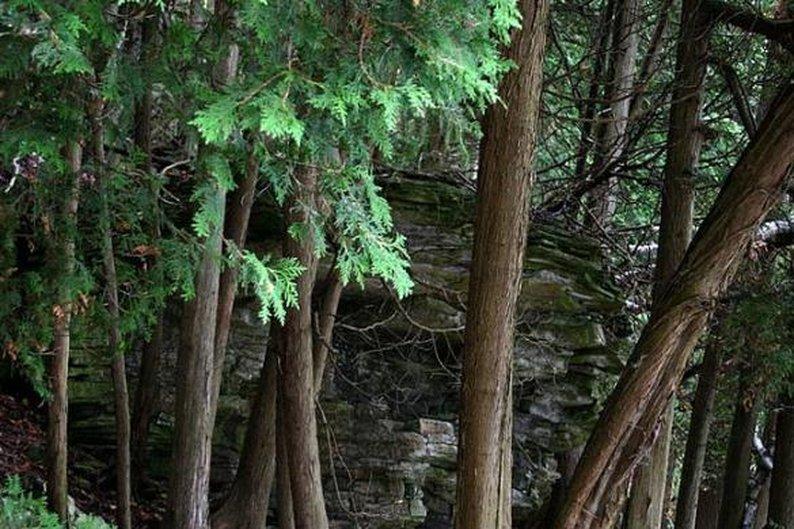 Northern cedar pine, 1.653 anéis.