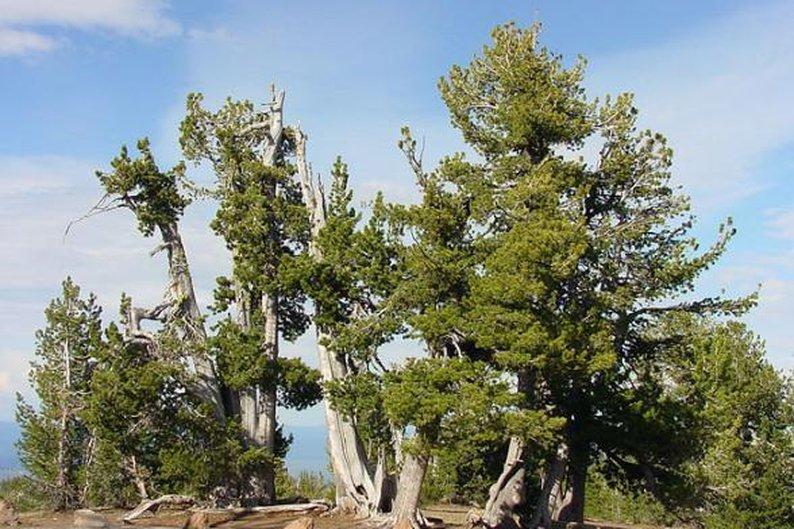 Pinus albicaulis, 1.267 anéis.