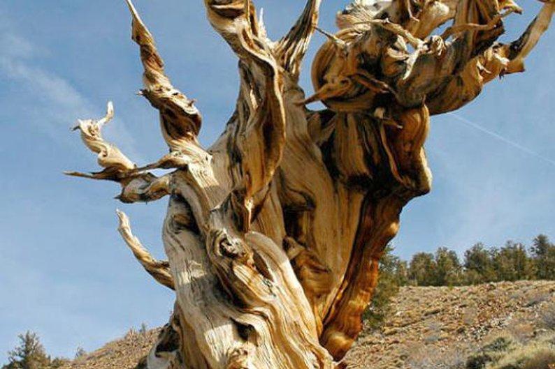 Pinus longaeva, 4.844 anéis.