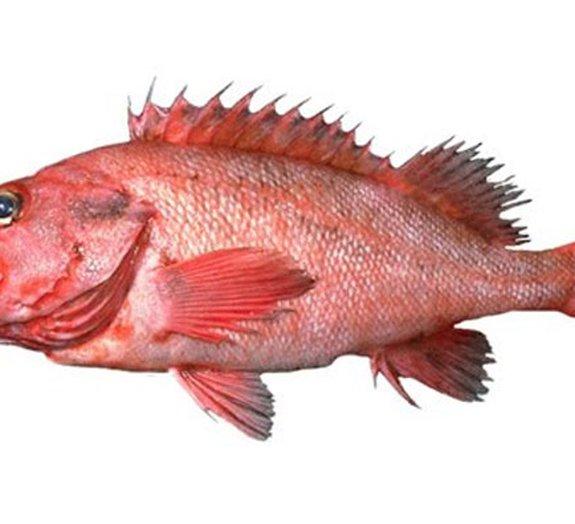 Peixes 'imortais' impressionam cientistas