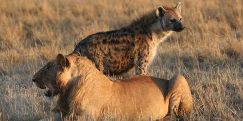 animals competing for territory - 790×395
