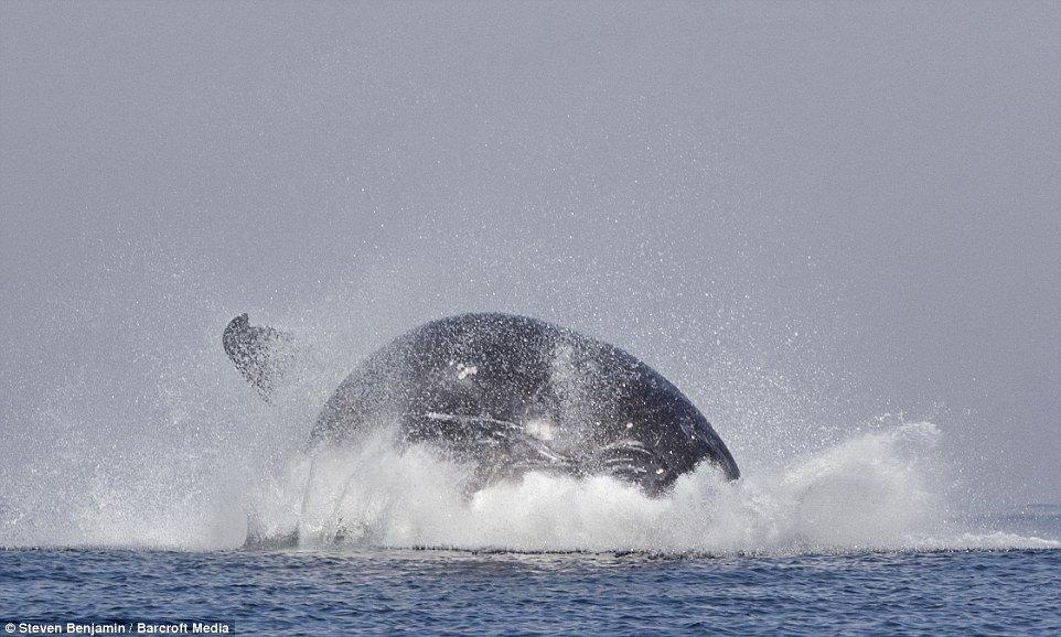 Incrível! Veja fotos de uma baleia saltando como se fosse um golfinho