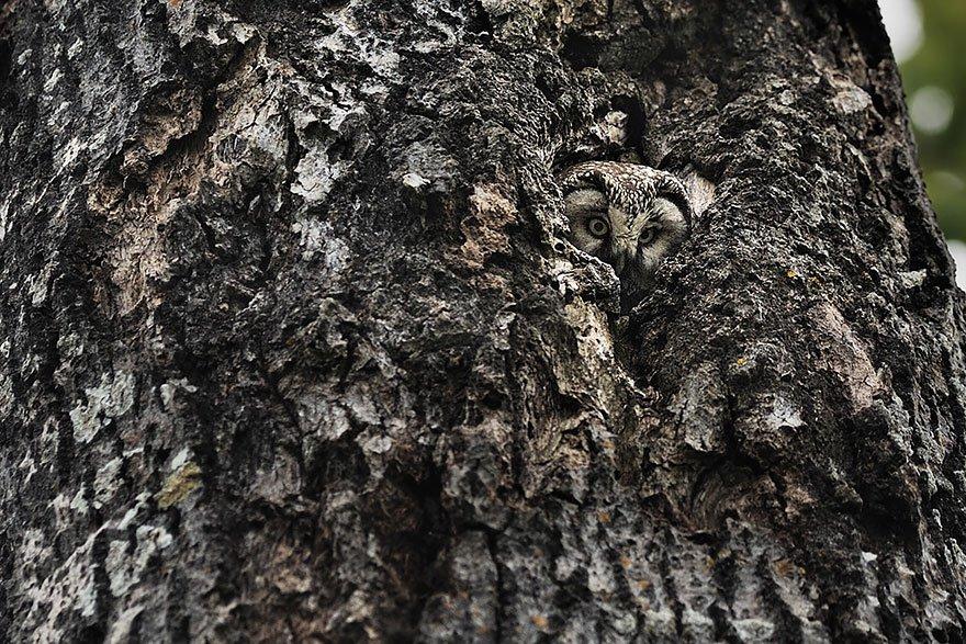 Ninjas: corujas provam que são mestres na camuflagem