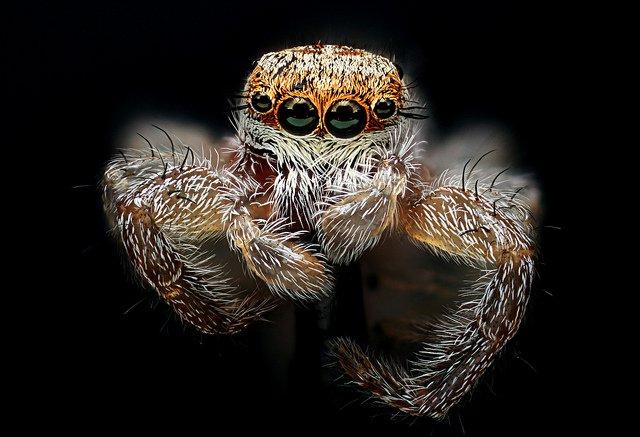 Aranha-saltadora.