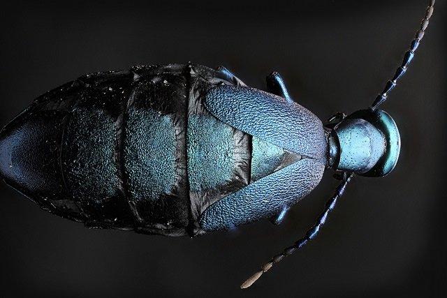Da família Meloidae.