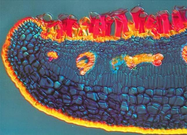 2000 – A imagem mostra a folha de uma planta normalmente encontrada em manguezais (Avicennia marina) clicada por Daphne Zbaeren-Colbourn de Bern, Suíça.