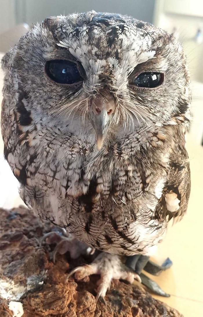 Conheça Zeus: a coruja cega que parece ter estrelas nos olhos