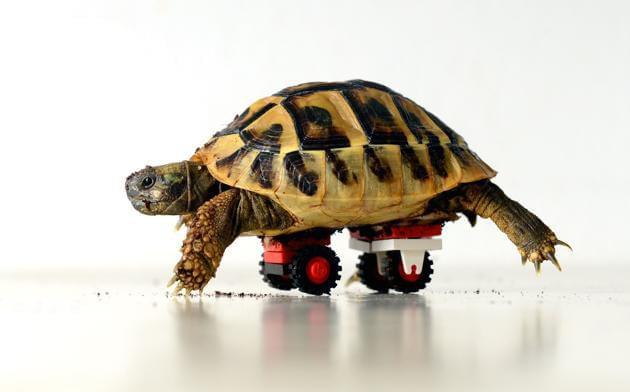 Prótese de Lego: tartaruga teve rodinhas implantadas no casco