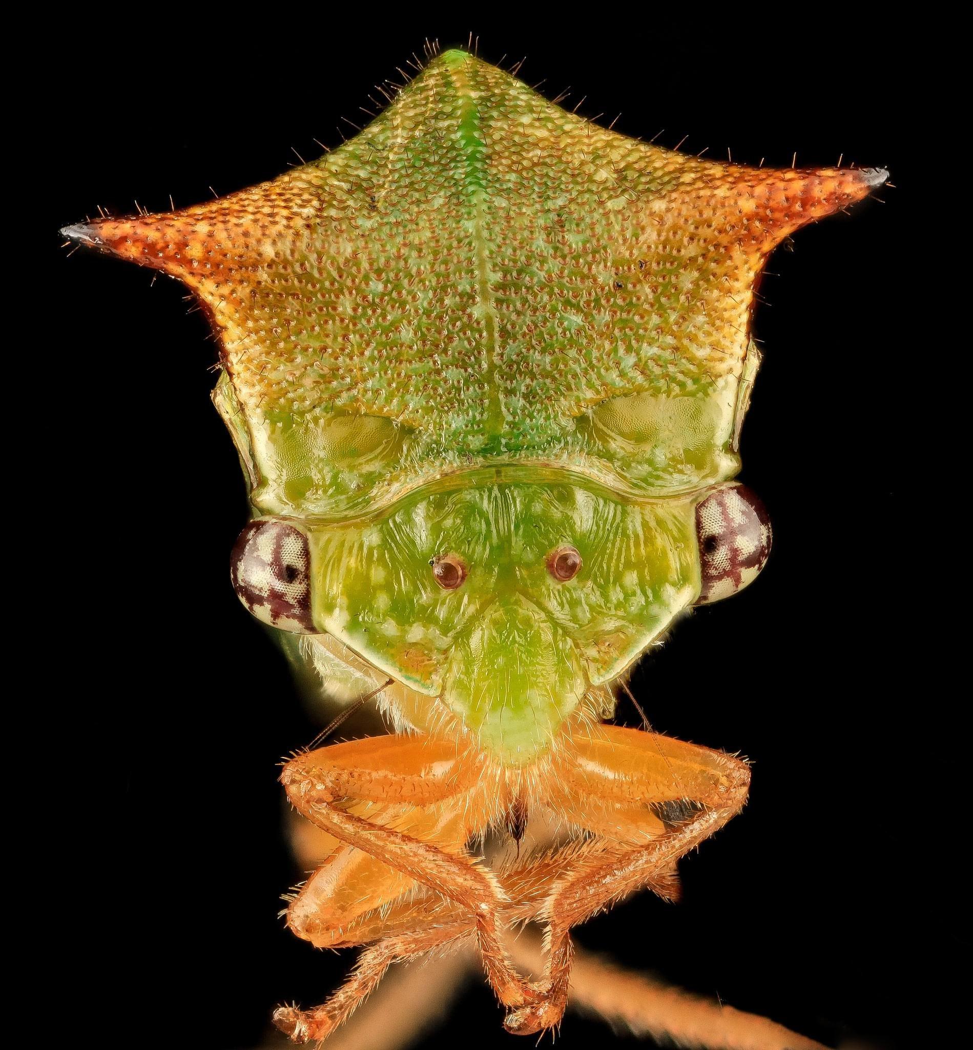 Membracídeos: conheça melhor essa família bizarra de insetos
