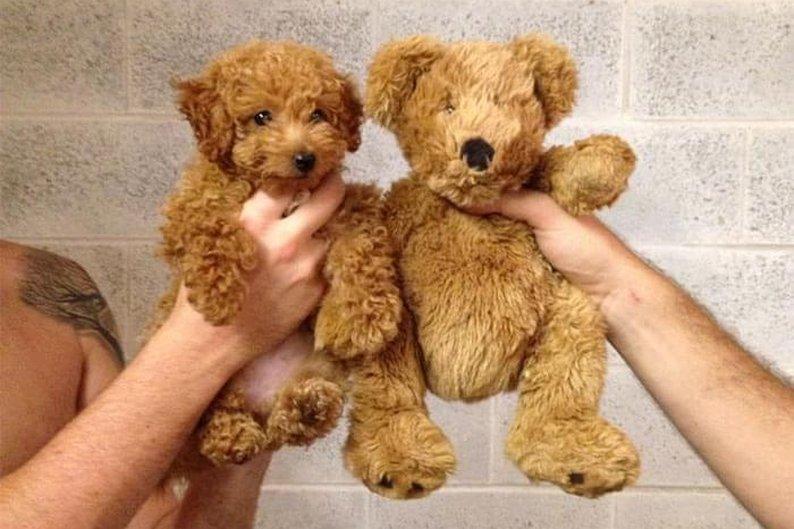 Cachorrinho de verdade e ursinho de pelúcia