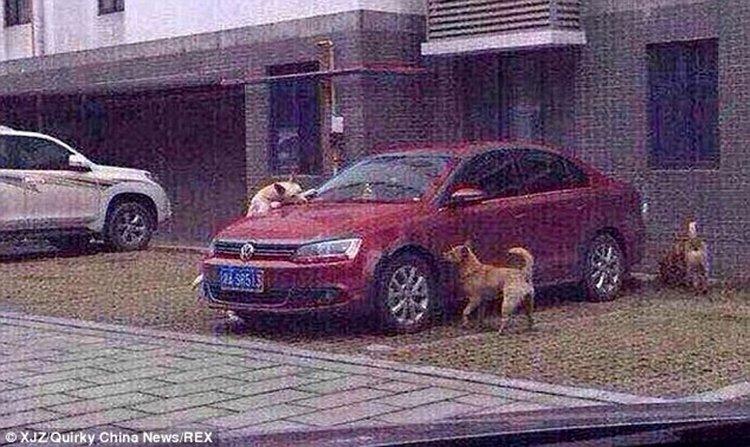 Justiça animal: cão chutado volta com bando para destruir carro de agressor