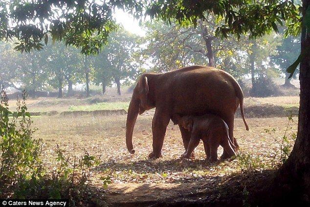 Mamãe elefante fica por 11 horas tentando resgatar seu bebê da lama [vídeo]