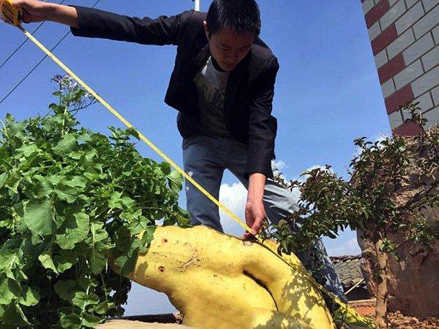Impressionante: chinês cultiva nabo gigante que tem quase 15 quilos