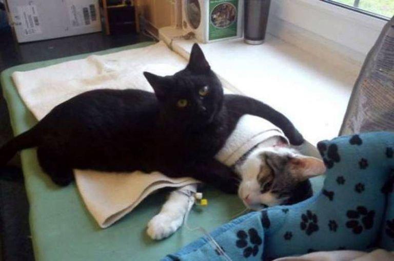 Veja qual é o incrível gato enfermeiro que ajuda animais doentes
