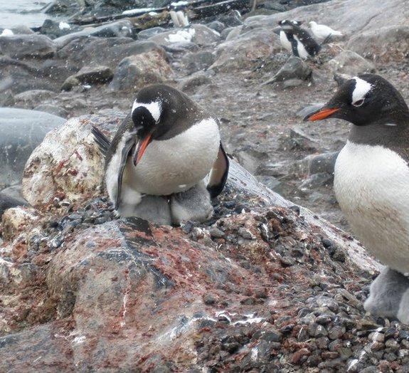 Espertos ou sortudos? Pinguins usariam cocô para derreter a neve e procriar