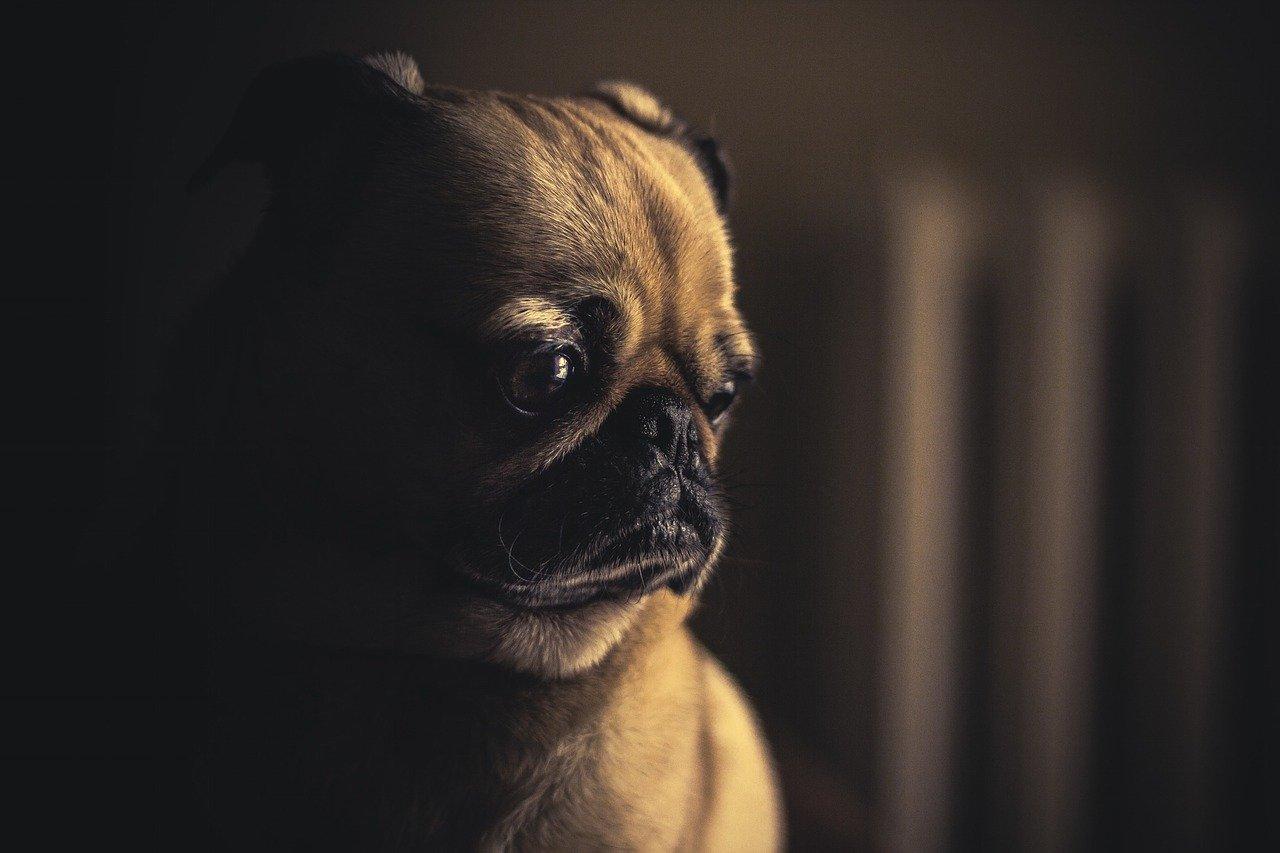 Cachorros são os nossos melhores amigos há 27 mil anos