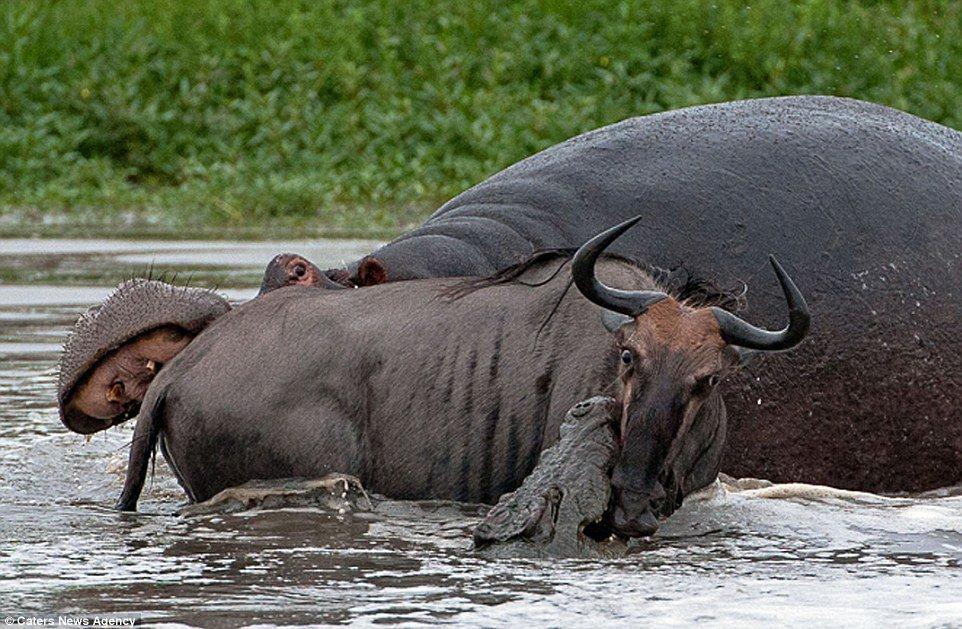 Incrível: veja fotos da batalha entre um hipopótamo, um crocodilo e um gnu