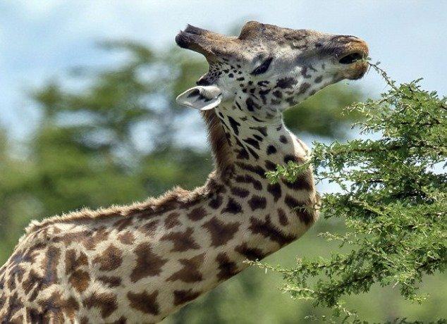 Girafa que quebrou pescoço em briga vive tranquila no Serengeti [vídeo]