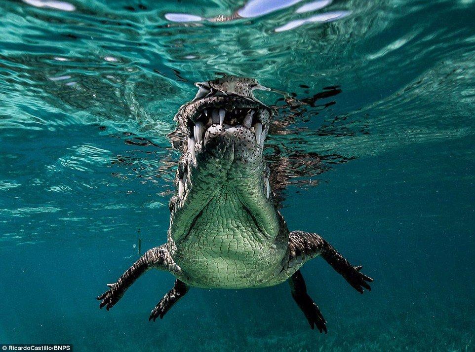 Fotógrafo nada com perigosos crocodilos-de-água-salgada em Cuba [galeria]