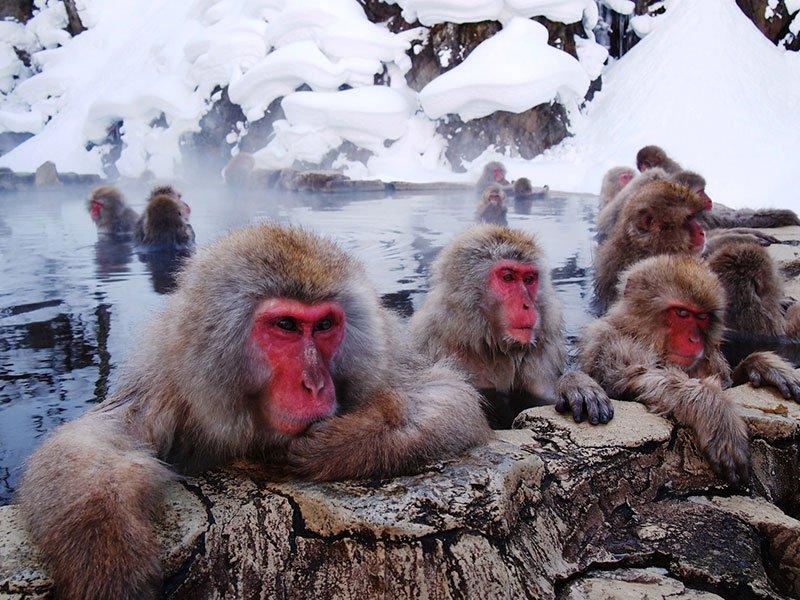 No Japão, há um parque termal para que macacos tomem banho [galeria]