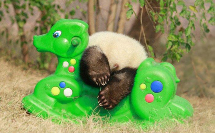 Fofura do dia: veja imagens de uma creche de pandas na China