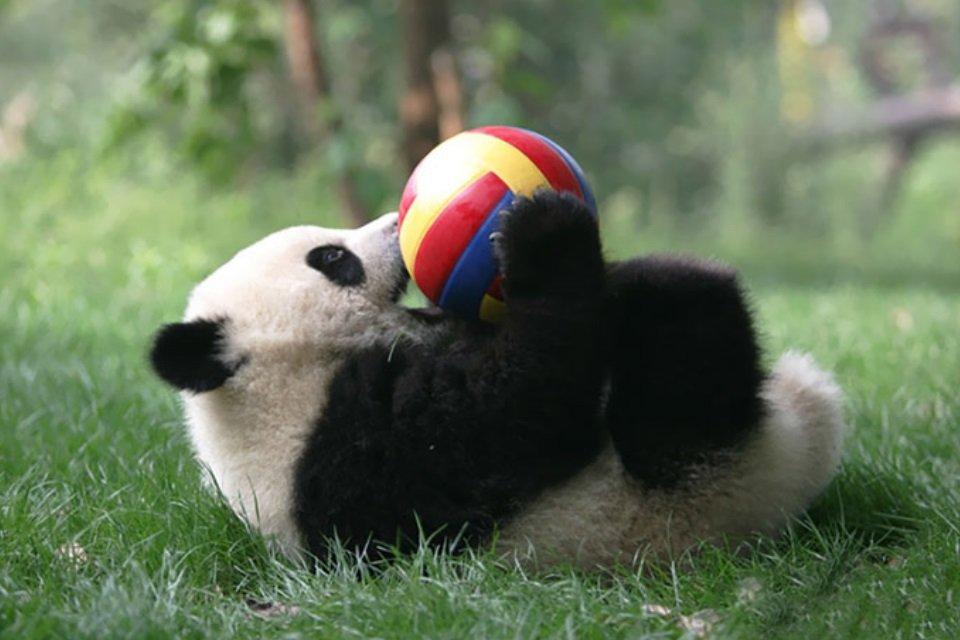 Fofura do dia: veja imagens de uma creche de pandas na China - Mega Curioso