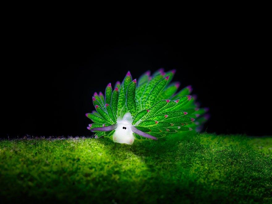 """Conheça as adoráveis """"ovelhas-do-mar"""" que fazem fotossíntese [galeria]"""