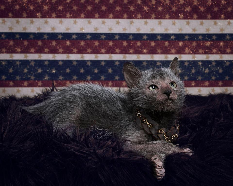 'Lykois': conheça a história dos gatos-lobisomens