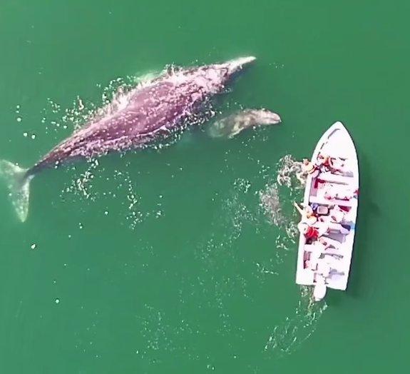 Baleia cinzenta e filhote dão show de simpatia na costa do México [vídeo]
