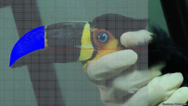 No Brasil, tucano ganha prótese de bico impressa em 3D [vídeo]