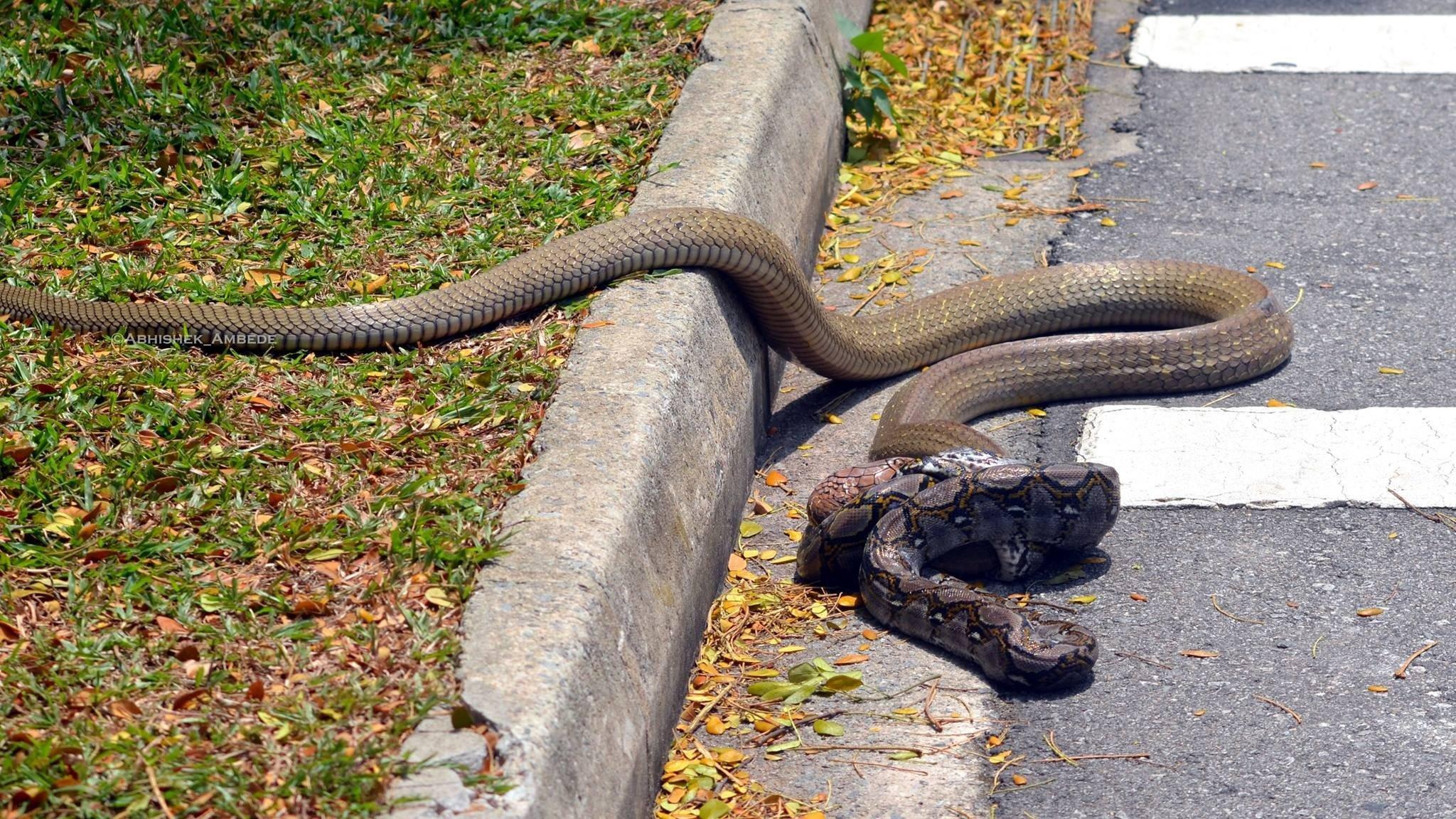 Píton X naja: duelo entre cobras viraliza na internet [vídeo]