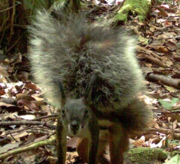 Pesquisadores filmam pela primeira vez o raríssimo 'esquilo vampiro'