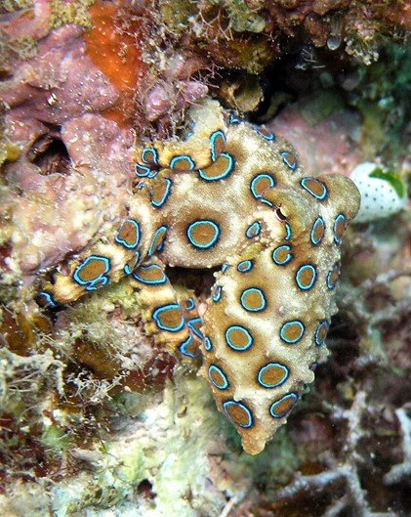 Hapalochlaena (um molusco)