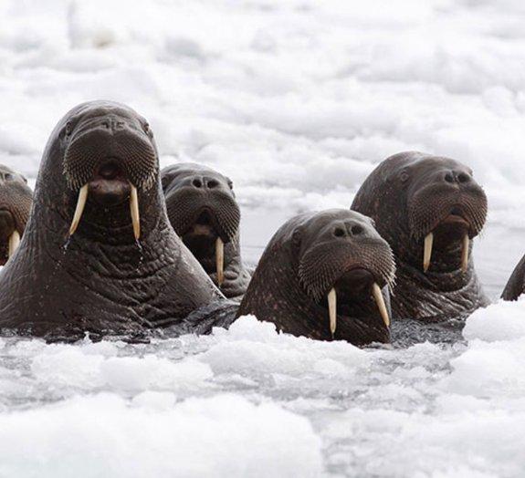 Milhares de morsas têm se reunido no Alaska, e isso não é bom [galeria]