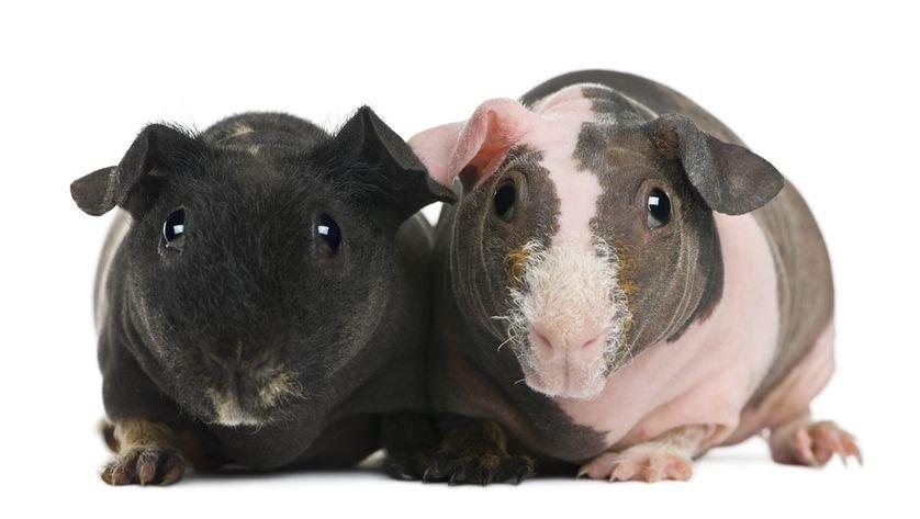 Porquinhos-da-índia sem pelos: pets bizarros são nova sensação [galeria]