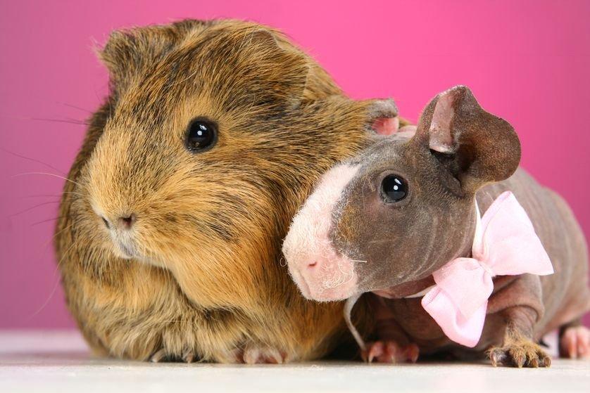 Favoritos Porquinhos-da-índia sem pelos: pets bizarros são nova sensação  IY49