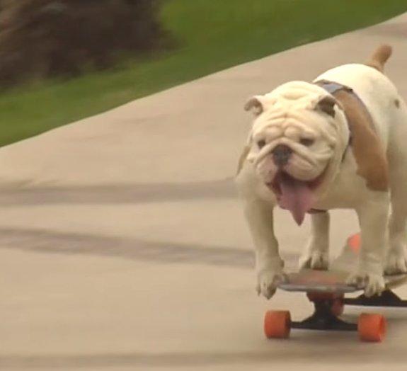 Esse 'buldogue skatista' quebrou um recorde mundial [vídeo]