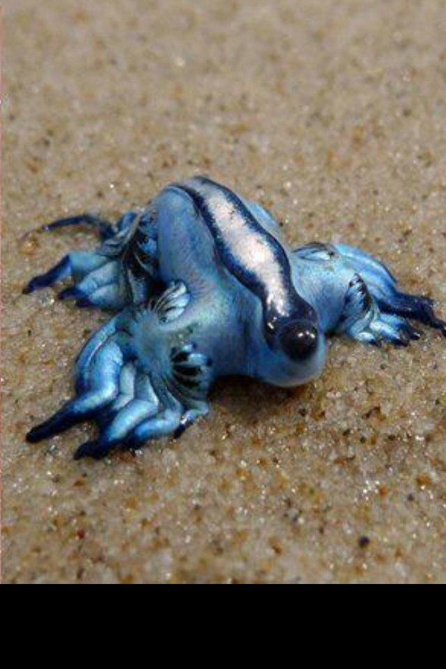 O dragão azul existe e é espetacular