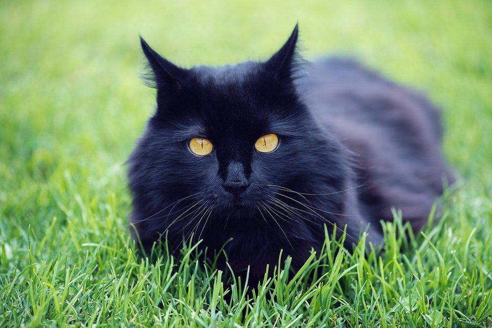 sonhar com gato preto tres