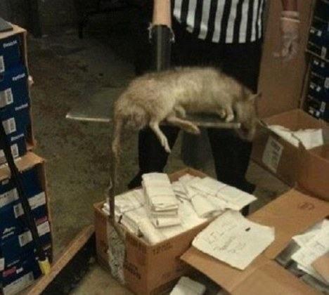 Rato encontrado em uma loja de sapatos, em Nova York