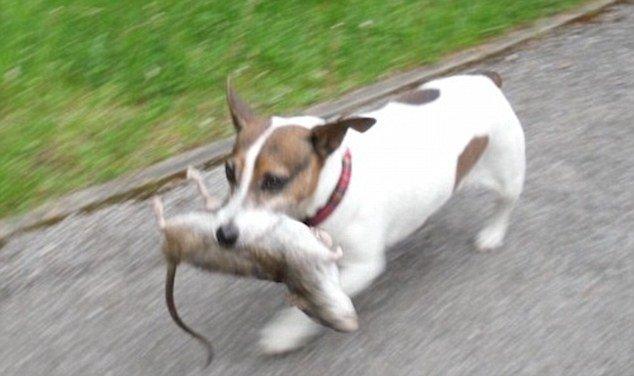 Ratão capturado em parque no Reino Unido
