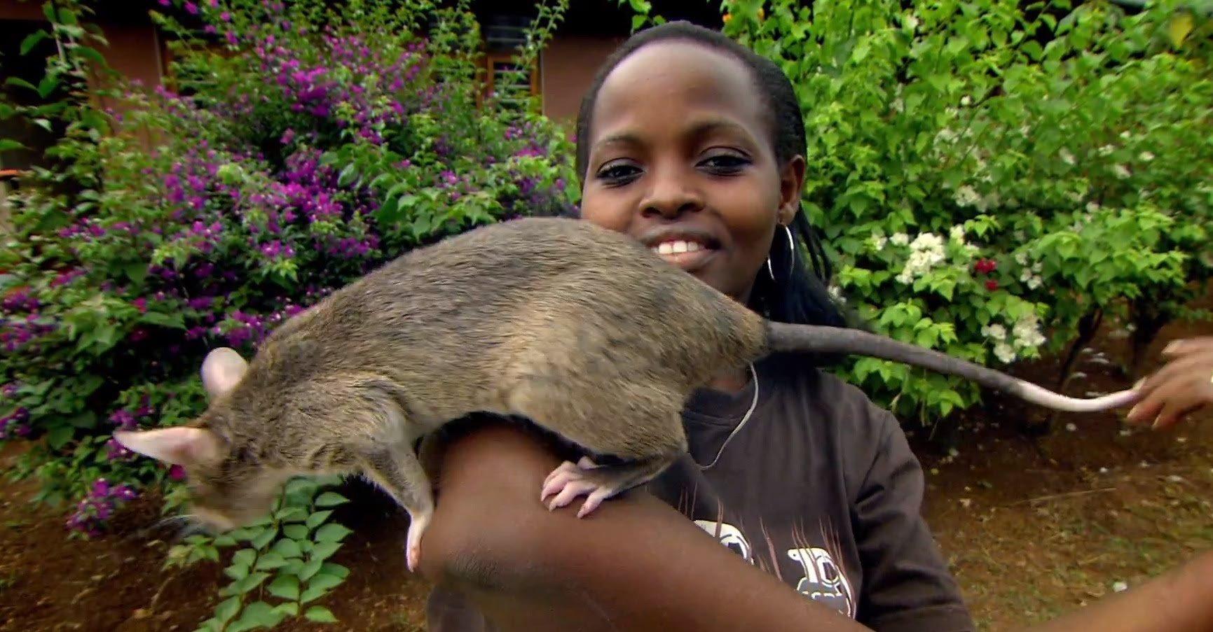 Rato de estimação?