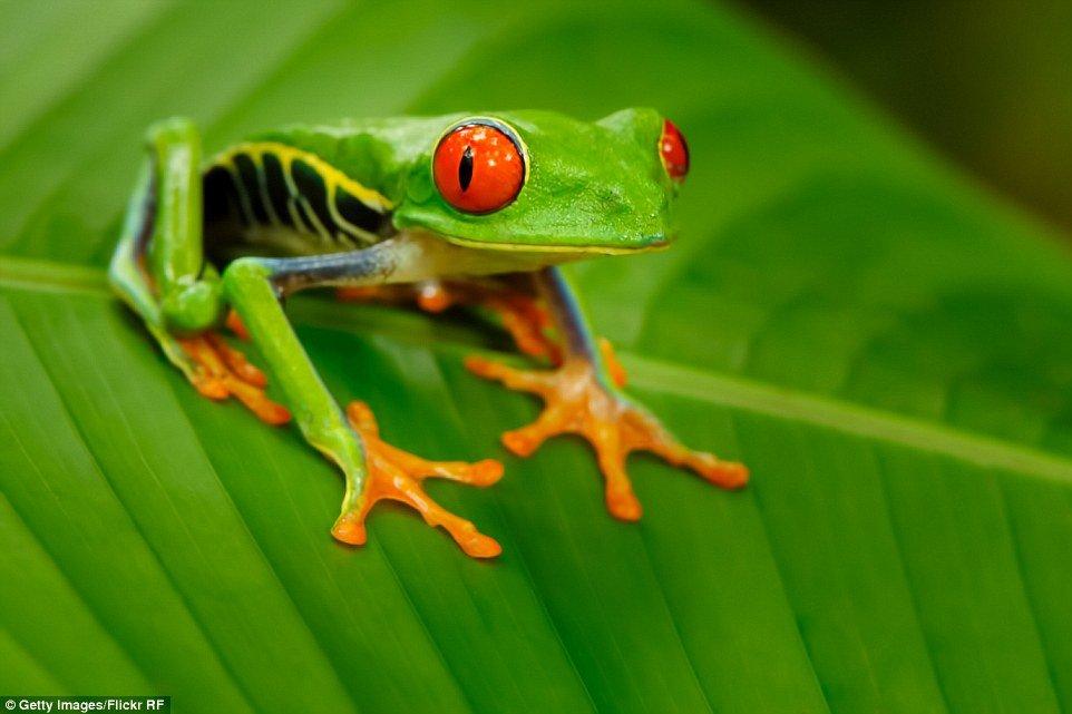 Rã de olhos vermelhos (Agalychnis callidryas) - Natural da  América Central, sendo encontrada desde o sul do México até o norte da Colômbia