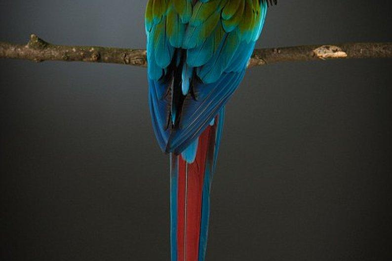 Araracanga (Ara macao) - Encontrada desde o sul do México até o norte do estado brasileiro do Mato Grosso