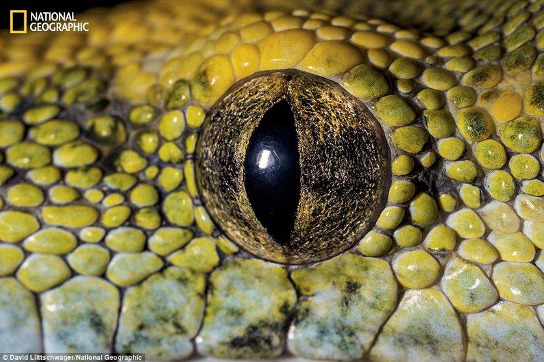 Píton verde arborícola (Morelia viridis) - Natural da Nova Guiné, várias ilhas da Indonésia e na Península do Cabo York na Austrália
