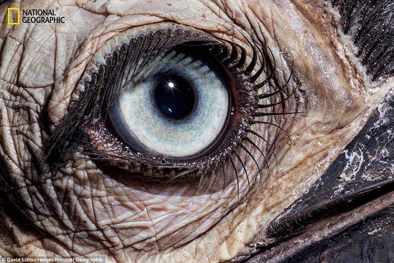 Calau-de-chão do Sul (Bucorvus leadbeateri) - Encontrado na África do Sul
