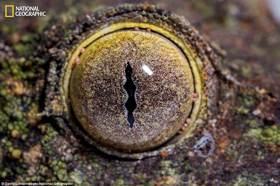 Lagartixa rabo-de-folha (Uroplatus sikorae) - Espécie endêmica de Madagascar