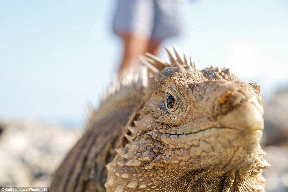 Iguana-cubana (Cyclura nubila) - Encontrada nas áreas rochosas da ilha de Cuba