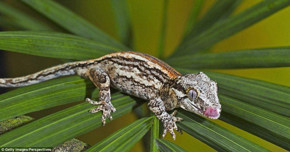 Lagartixa-gárgula (Rhacodactylus auriculatus) - Natural da ilha de Nova Caledônia, no Pacífico Sul